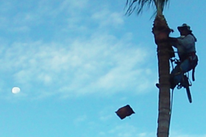 Photo #2: Vicente's tree and palm services