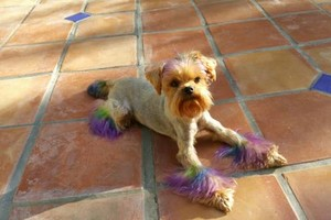 Photo #1: Professional dog grooming! Northridge CA