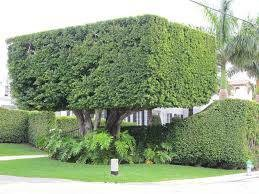 Photo #1: Hedge trimming