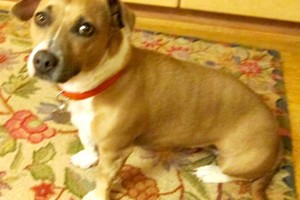 Photo #1: Playmate For Terrier Mix Dog