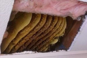 Photo #1: LIVE# BEE & WASP REMOVAL