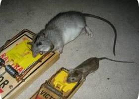 Photo #2: Ridzone Pest Control. Rodent Control Exterminators.