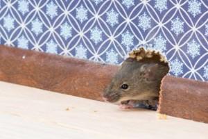 Photo #1: Ridzone Pest Control. Rodent Control Exterminators.