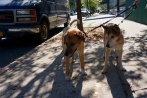 Photo #1: Dogger . BROOKLYN'S FINEST DOG WALKING & PET SITTING