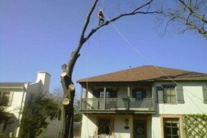 Photo #6: Artisan Tree Service - Trimming Removals and More
