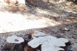 Photo #2: Caleb Tree Removal