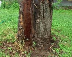Photo #7: RAMIREZ TREE SERVICES -DEAD TREE REMOVAL, TRIMMING AND MORE!