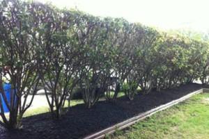 Photo #9: Tapia's lawn care - mulch installation