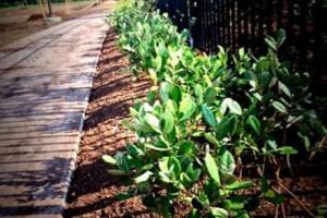 Photo #12: Tapia's lawn care - mulch installation