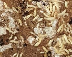 Photo #2: Termites!!! Call H&R For Free Termite Inspection!!