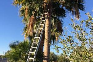 Photo #18: Palm tree trimming by Alex