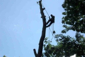 Photo #2: Arborite Tree Service - tree care and removal