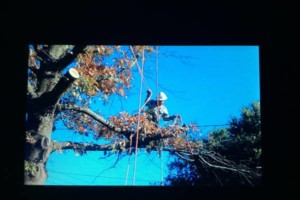 Photo #1: STANLEY REVIS TREE SERVICE