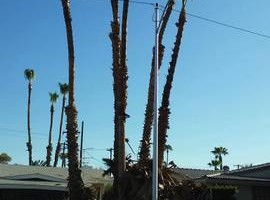 Photo #4: Palm/Tree service