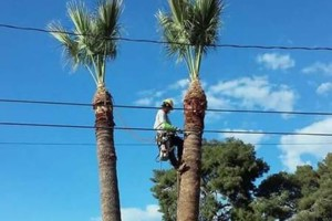 Photo #1: Best Price on Palms Trees, Pines, Cactus, Mesquite and Well Pruned!