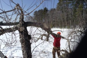 Photo #3: Apple Tree Pruning services. Carra Landscaping