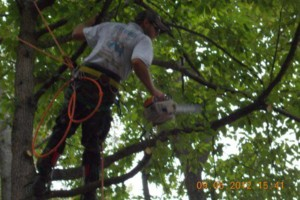 Photo #19: CERTIFIED EXPERT TREE SERVICE, 65 FT BUCKET TRUCK & CLIMBING SERVICE