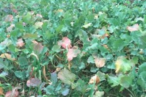 Photo #6: Food Plots - I'm Your Huckleberry