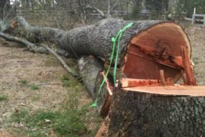 Photo #6: TIMBER TREE SERVICE *FREE ESTIMATES*