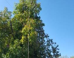 Photo #22: Ramon's Professional Tree Service