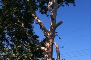 Photo #1: Trees, Trees, Trees! Borgers Tree Service