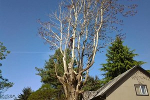 Photo #1: $25.00/hr Professional Tree Trimmer