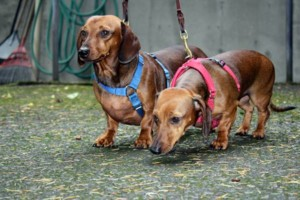 Photo #5: Looking For A Professional Dog Walker? - The Vancouver Dog Walkers