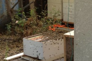 Photo #2: CA BEE SWARM REMOVAL