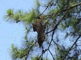 Photo #2: Bee Swarm Removal from $150 by Nick