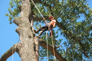 Photo #3: Tree Removal & Pruning Services (Lisenced&Insured)