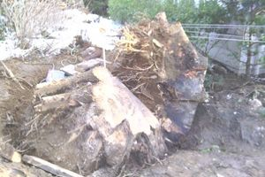 Photo #2: Tree removal. Tree service. Tree care
