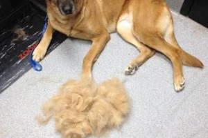 Photo #3: *Certified Professional Dog Grooming*