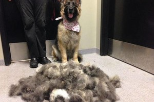 Photo #2: *Certified Professional Dog Grooming*