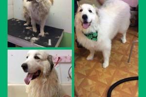 Photo #4: SHAGGY'S SPA :) dog grooming