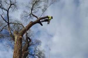 Photo #3: Tree Trimming & Removal, Rigging
