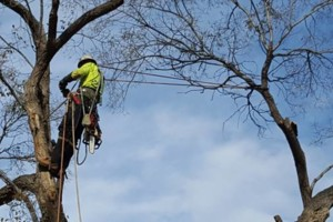 Photo #1: Tree Trimming & Removal, Rigging