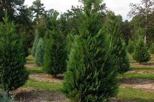 Photo #6: Planting all kinds of trees, delivery included