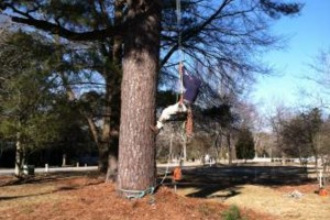 Photo #11: Emir's tree pruning & removal
