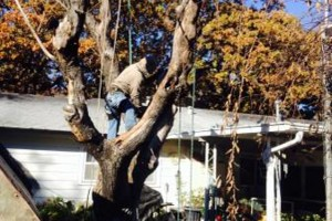 Photo #2: DFW Affordable Tree Service by Jackie