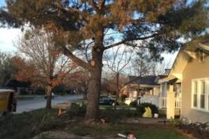 Photo #2: 811 Stump Grinding / Tree Service / Mistletoe removal