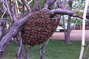 Photo #21: Bee Swarm removal, Bee Removals, Bee Help