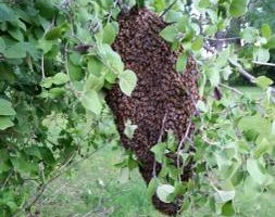 Photo #17: Bee Swarm removal, Bee Removals, Bee Help