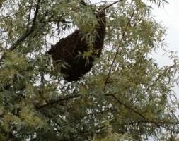 Photo #16: Bee Swarm removal, Bee Removals, Bee Help