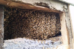 Photo #13: Bee Swarm removal, Bee Removals, Bee Help