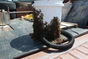 Photo #10: Bee Swarm removal, Bee Removals, Bee Help