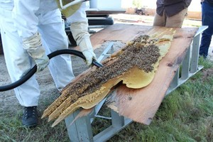 Photo #9: Bee Swarm removal, Bee Removals, Bee Help