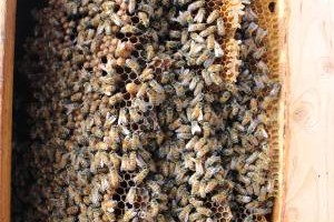 Photo #6: Bee Swarm removal, Bee Removals, Bee Help