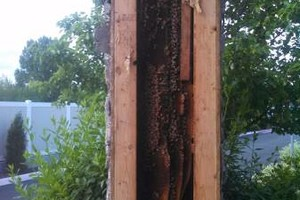 Photo #5: Bee Swarm removal, Bee Removals, Bee Help