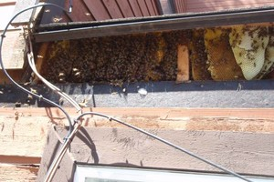 Photo #3: Bee Swarm removal, Bee Removals, Bee Help