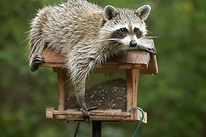 Photo #1: Wildlife Control - raccoons, beaver, squirrels, rabbits, muskrats, foxes...